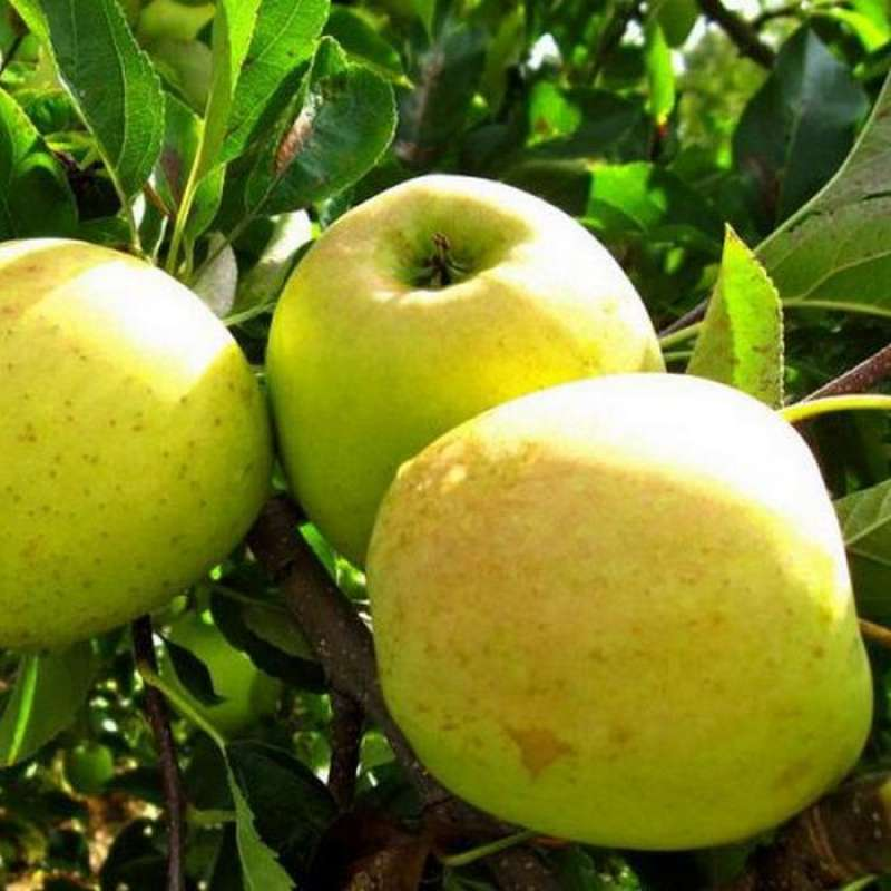 Orion Apples